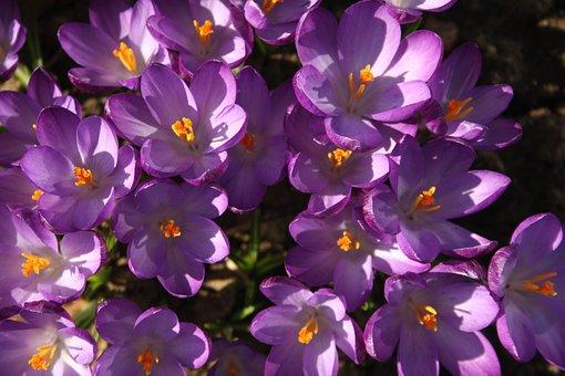 Crocuses, Flora, Plant, Winter, Flower, Nature, Garden