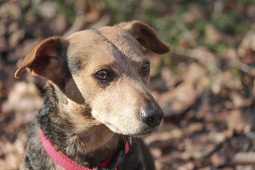 Dog, Canine, Pet, Hybrid, Male, Portrait, Attention