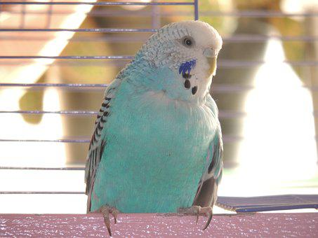 Parrot, Blue, Wavy Parrot, Bird, Cage, Feathers