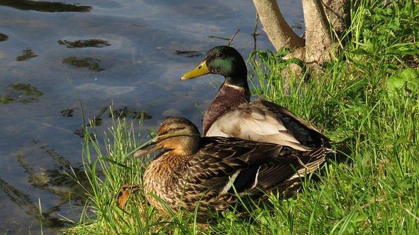 Birds, Ducks, Mallards, Feathers, Plumage, Waterfowls