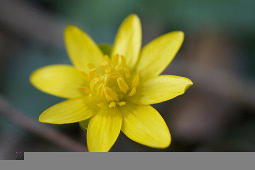 Ficaria Verna, Ficaria, Spring, Flora, Yellow, Flower