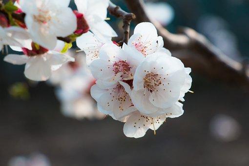 Apricot, Flower, Spring