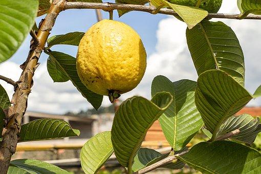 Guava, Food, Plant