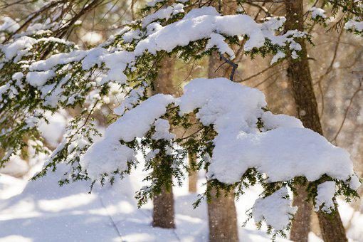 Winter, Snow, Evergreens, Spruce, Pine, Trees, Forest