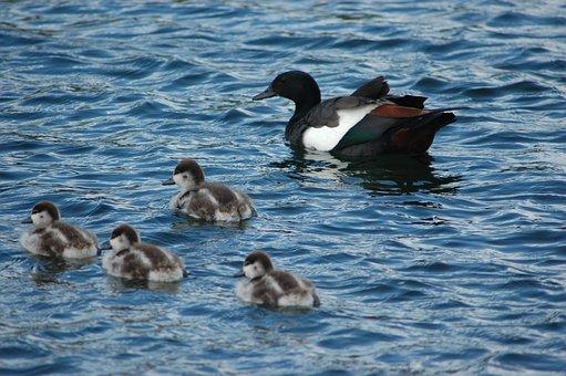 Shelduck, Ducklings, Lake, Ducks, Birds, Waterfowls