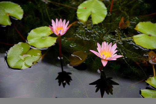 Water Lily, Flowers, Plant, Lily Pads, Leaves, Bloom