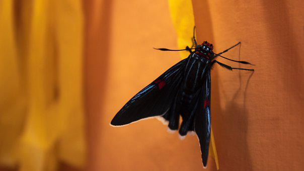 Mariposa, Mariposa Negra, Butterfly, Black, Insect
