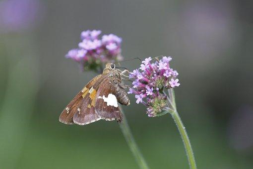 Verbena, Flower, Moth, Nature, Garden, Butterflies