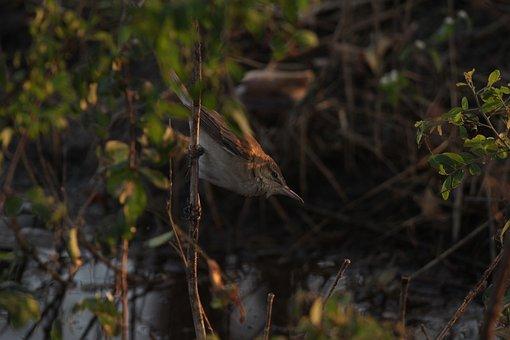 Reed Warbler, Warbler, Bird, Karanja Reservoir, Nature