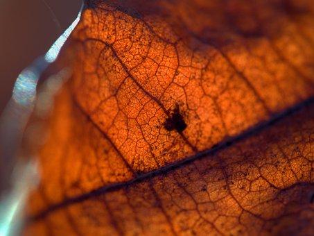 Leaf, Sheet, Veins, Rusty, Brown, Light, Oak, Details