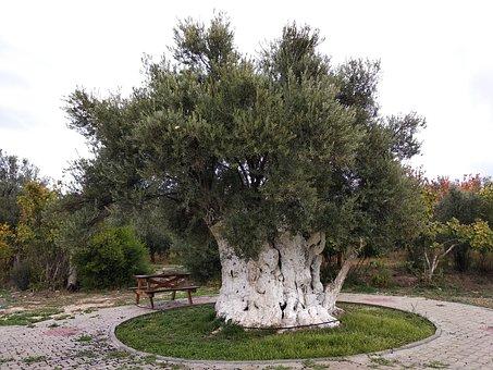 Olive, Olives, Tree, Olive Tree, Ancient Tree, Old