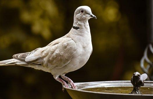 Collared Dove, Dove, Bird, Perched, Animal, Beak