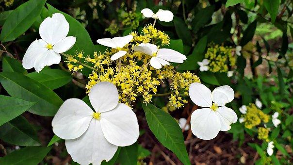 Hydrangea Chinensis, Flowers, Plant, Chinese Hydrangea