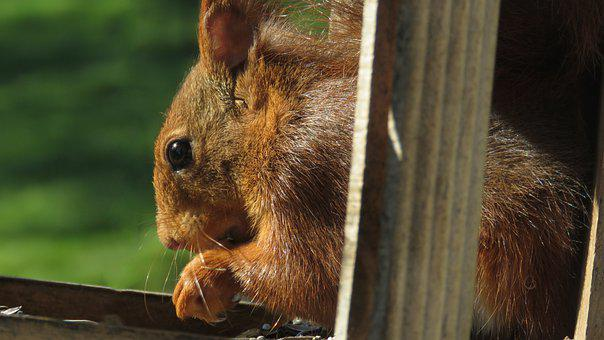 Squirrel, Rodent, Foraging, Eating, Wildlife