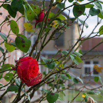 Rose, Flower, Prison