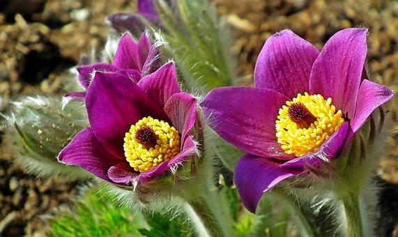 Sasanki, Flowers, Spring, Violet, Fluffy, Plants, Hairy