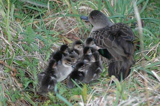 Grey Teal, Ducks, Ducklings, Birds, Waterfowls