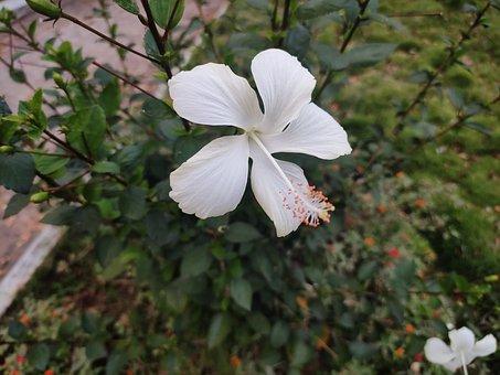 Hibiscus, Flower, White, White Hibiscus, White Flower
