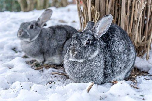 Rabbit, Chinchilla Rabbit, Snow, Two, Pet, Winter, Out