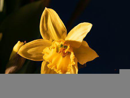 Daffodil, Narcissus, Easter, Spring, Yellow, Flower
