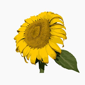 Sunflower, Yellow, Flower