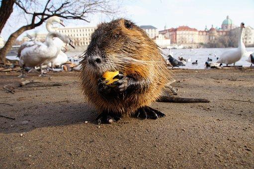 Nutria, American, Rodent, Herbivore, Animal, Fur