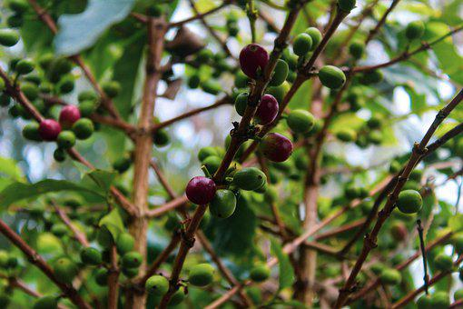Coffee, Plant, Green, Drink, Food, Arabic, Zongoliga