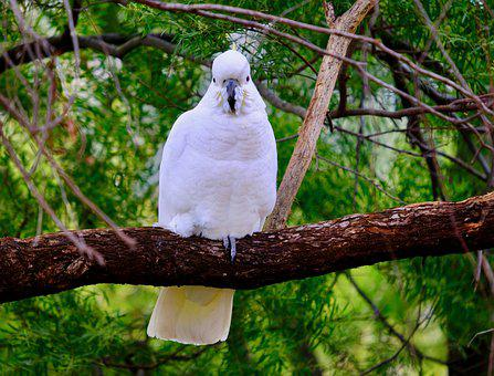 Cockatoo, Branch, Trees, Bird, Feathers, Plumage, Ave