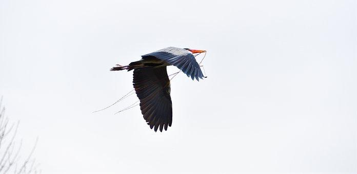 Blue Heron, Animal, Bird, Flying Heron, Spread Wings