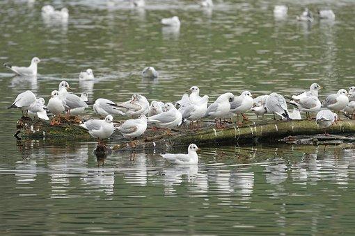 Birds, Gulls, Seagulls, Standing, Logs, Wood, Lake