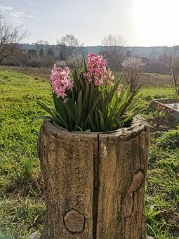 Hyacinth, Spring, Flower, Plant, Nature, Pink, Blue