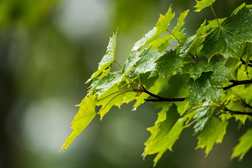Leaves, Branch, Dew, Raindrops, Wet, Foliage, Greenery