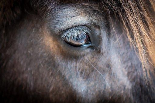 Horse, Head, Eye, Pony, Animal, Mammal, Equine, Detail