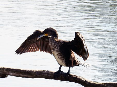 Cormorant, Bird, Feathers, Wings, Plumage, Ave, Avian