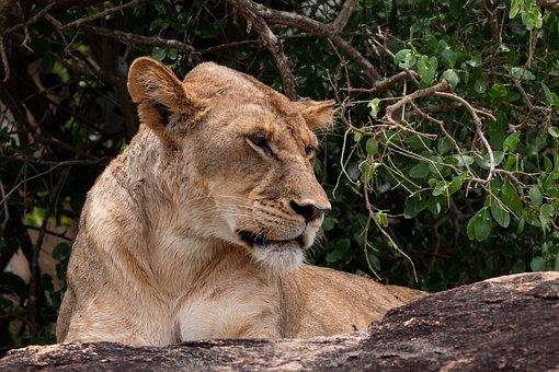 Lioness, Feline, Wild Cat, Cat, Wild, Wilderness