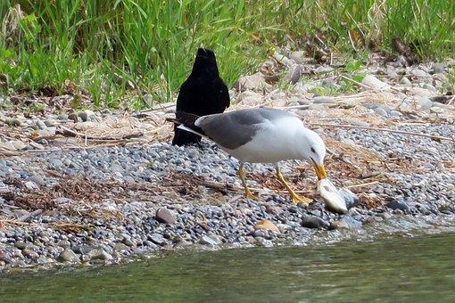 Seagull, Bird, Eat, Crow, Watch, Hunger, Fish In Beak