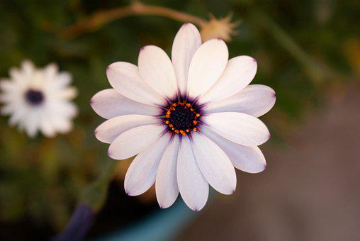 Flower, White, Purple, Nature, Garden, Petals, Violet