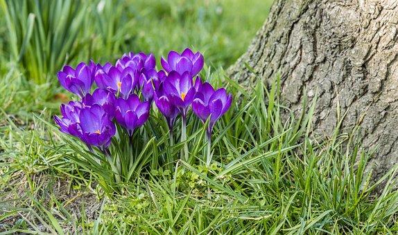 Crocus, Flowers, Grasses, Purple Flowers