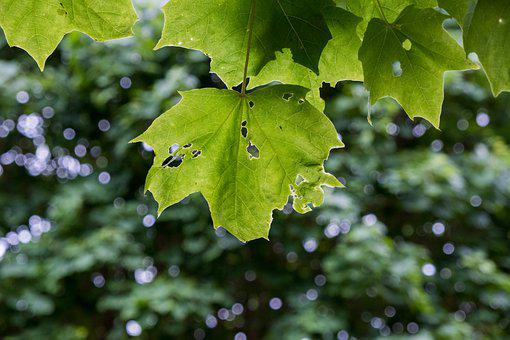 Leaves, Maple, Green, Foliage, Green Leaves