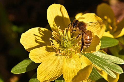 Winterling, Honey Bee, Early Bloomer