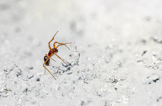 Spider, Snow, Ice, Close-up, Nature, Animal, Insect