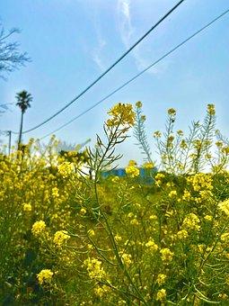 Jeju Island, Rape Flowers, Travel, Yellow Flower