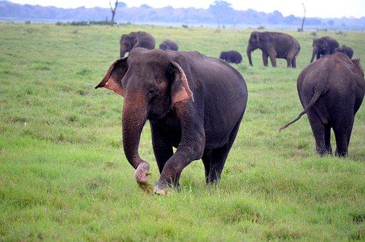Elephants, Grass, Pasture, Animals, Large Animals