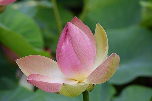 Lotus, Flower, Pink Flower, Lotus Flower