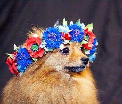 Spitz, Dog, Cute, Animal, Fur, Furry, Charming, Pet