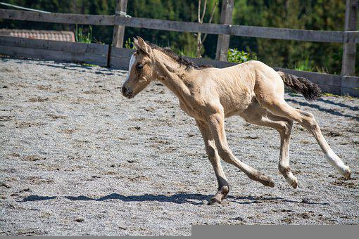 Pony, Foal, Horse, Baby, Mare, Young, Animal, Newborn