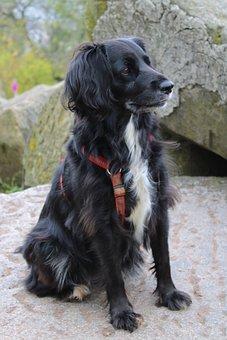 Dog, Black, Hybrid, Pet, Labrador, Cute, Portrait