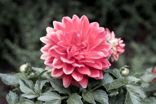 Dahlia, Flower, Red, Leaves, Red Flower