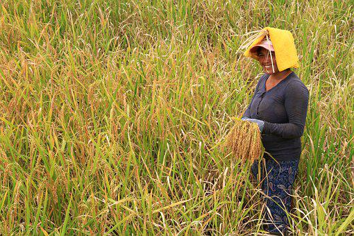 Indonesia, Rice Harvest, Rice Cultivation