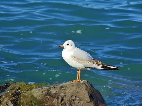 Seagull, Bird, Rock, Sea, Perched, Gull, Animal